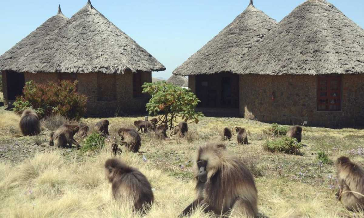Simien-Lodge-Gelada-Monkeys