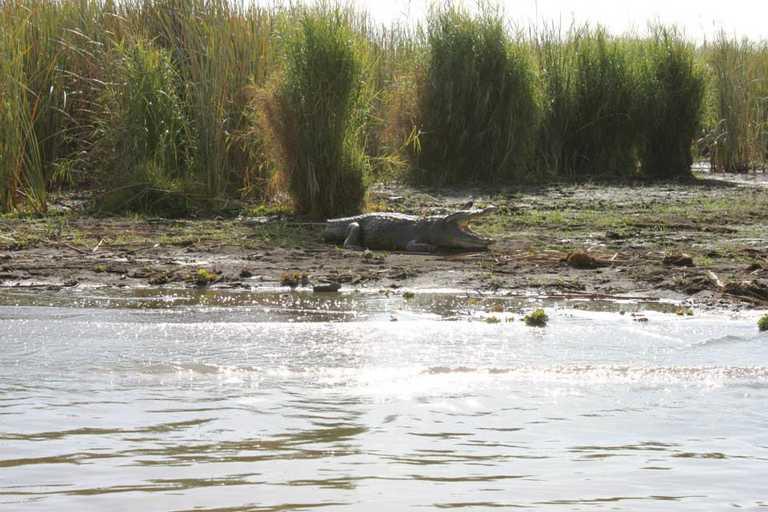 Crocodile in lake Chamo