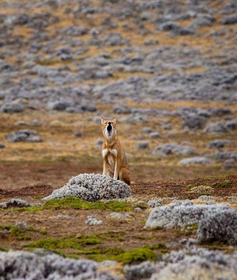 Ethiopian-Wolf-cropped
